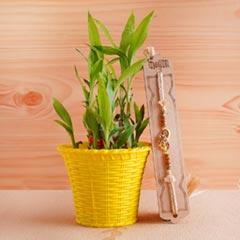 Golden Rakhi with Lucky Bamboo Plant