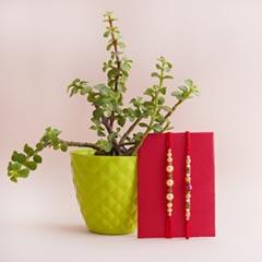 Jade Plant with Two Rakhi Set